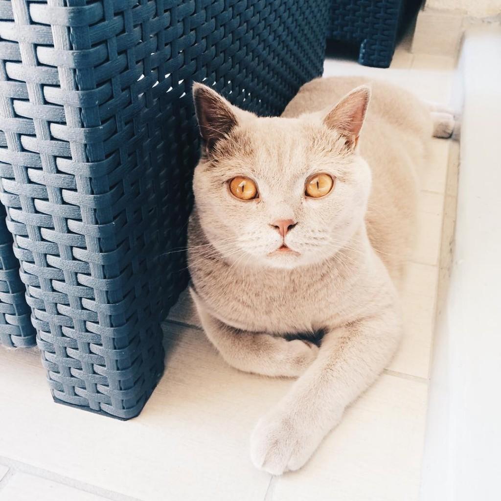 Il a chaud ce petit chaton  dexterlechat britishshorthair britishshorthairlilac